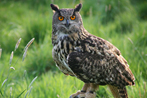 Turner Eagle Owl